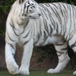 Black and White Striped Tiger — Stock Photo #40541689