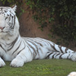 Black and White Striped Tiger — Stock Photo #40546087