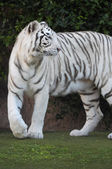 Black and White Striped Tiger — Stockfoto