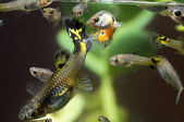 Guppy Multi Colored Fish — Stock Photo