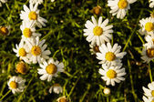 Camomilla Daisy Flowers — Stock fotografie