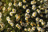 Camomilla daisy blommor — Stockfoto