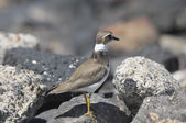 Adult Kentish Plover Water Bird — Stock Photo