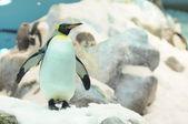 černá a bílá barevný tučňák — Stock fotografie