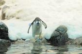Czarno-białe, kolorowe pingwin — Zdjęcie stockowe