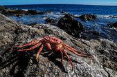 Orange Crab — Foto de Stock