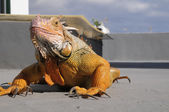 Colored Young Male Iguana — Stock Photo