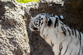 Black and White Striped Tiger — Стоковое фото