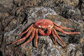 Orange Crab — Stock Photo