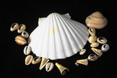 Sea Shell — Photo