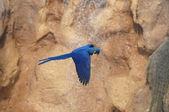 Blau gefärbte tropischen papagei — Stockfoto