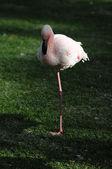 Pink Adult Flamingo — Stock Photo