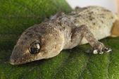 Gecko Lizard and Leaf — Stock Photo