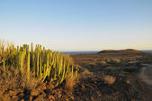 Cactus suculenta en el desierto seco — Foto de Stock