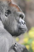 Jednego dorosłego goryla czarny — Zdjęcie stockowe