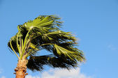 Palm Tree Blowing In The Wind — Stock Photo