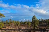 Pine Woods — Stock Photo