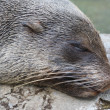 Stock Photo: Head of a sleeping seal_2