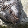 Stock Photo: Head of a sleeping seal_1