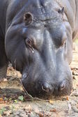 Head of a eating Hippopotamus — Stock Photo