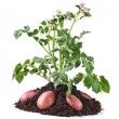 Potato plant and tubers isolated on white — Stock Photo #13815417
