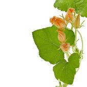 Confine di fiori e foglie di verdura fresca su sfondo bianco — Foto Stock