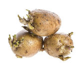 Potatoes seeds with sprouts for planting on white background — Stock Photo