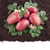 Fresh potato with soil — Stock Photo