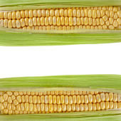 Frame Border of Corn ear with copy space on white — Foto Stock