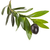 Olive branch with olives — Stock Photo