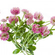Pink clover isolated on white — Stock Photo