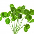 Stock Photo: Clover isolated on a white