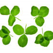 Clover isolated on a white — Stock Photo