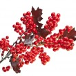 Red berries holly with oak leaves isolated on white — Stock Photo #13836992
