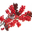 Red berries holly with oak leaves isolated on white — Stock Photo