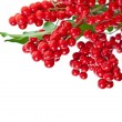 Christmas twig holly with red berries — Stock Photo