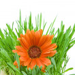 Flower orange gerbera background with grass and copyspace for your text — Stock Photo