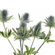 Stock Photo: Bouquet flowering thistle, blue sea holly snowy (eryngium planum) isolated on white background