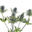 Bouquet flowering thistle, blue sea holly snowy (eryngium planum) isolated on white background — Stock Photo