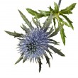 Bouquet flowering thistle, blue sea holly snowy (eryngium planum) isolated on white background - Stock Photo