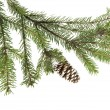 Evergreen fir tree branch on white for design — Stockfoto