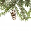 Evergreen fir tree branch on white for design — Stock fotografie