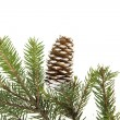 Evergreen fir tree branch on white for design - Stock fotografie