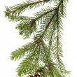 Evergreen fir tree branch on white for design - Stockfoto