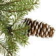 Fir tree branch isolated on white — 图库照片