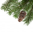 Evergreen fir tree branch on white for design - Foto de Stock