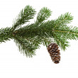 Evergreen fir tree branch on white for design - Photo