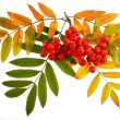 Stock Photo: Autumnal colorful red rowbranch isolated on white