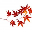 Japanese Red Autumn maple tree leaves (Acer palmatum) isolated — Stock Photo