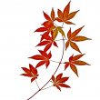 Japanese Red Autumn maple tree leaves (Acer palmatum) isolated - Stock Photo
